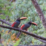 Aracari from the balcony